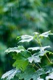 Ahornblätter unter Regen Stockfotografie