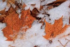 Ahornblätter werden mit erstem weißem Schnee bedeckt Einsam eine Kiefer auf einem Gebiet und ein gelbes Gras Lizenzfreie Stockfotos