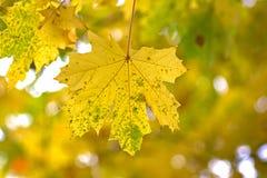 Ahornblatt auf dem Baum Stockbilder