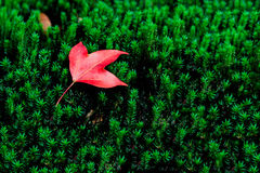 Ahornblatt auf dem Moos im tropischen Regenwald lizenzfreie stockfotos