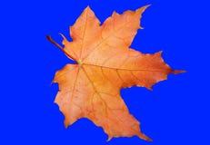 Ahornblatt auf einem blauen Hintergrund Stockbild