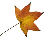 Ahornblatt auf einem weißen Hintergrund Stockfoto