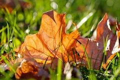 Ahornblatt auf grünem Gras Herbstparkszene Makroansichtweichzeichnung Stockfotografie