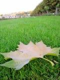 Ahornblatt auf grünem Rasen Lizenzfreie Stockbilder