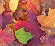 Ahornblatt aus den Grund mit Herbstfarbe Stockfoto