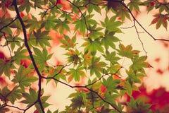 Ahornblatt, Baumast im schönen Herbst Lizenzfreies Stockbild
