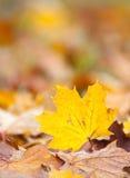 Ahornblatt in den Herbstfarben Stockbilder