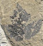 Ahornblatt-Fossil lizenzfreies stockbild
