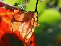 Ahornblatt getrennt Stockbild
