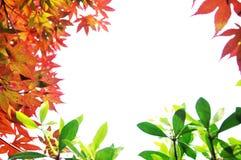 Ahornblatt getrennt Stockfoto