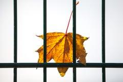 Ahornblatt hinter einem grünen Zaun Lizenzfreie Stockfotografie