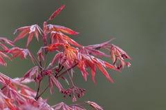 Ahornblatt im Frühjahr Stockbild