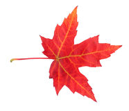 Ahornblatt im Herbst, Acer platanoides Lizenzfreie Stockbilder