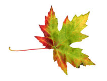 Ahornblatt im Herbst, Acer platanoides Lizenzfreies Stockfoto