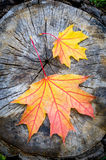 Ahornblatt im Herbst (Acer-platanoides) Lizenzfreies Stockfoto
