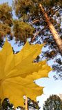 Ahornblatt im Koniferenwald stockfotografie