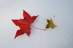 Ahornblatt im Schnee Stockfoto