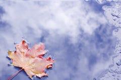 Ahornblatt liść klonowy Zdjęcie Royalty Free