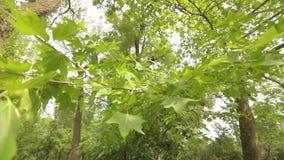 Ahornblatt-Nahaufnahme, grüne Ahornblätter im Wind, Ahornsamen stock footage