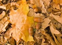 Ahornblatt und Eicheln Stockfoto
