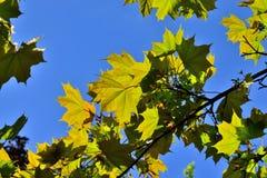 Ahornblattnahaufnahme auf Hintergrund des blauen Himmels Lizenzfreie Stockfotos