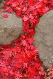 Ahornblattwasserfall Stockfotografie