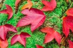 Ahornblätter und grünes Moos Lizenzfreies Stockfoto