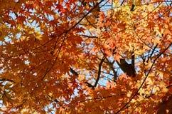 Ahorne im Herbst lizenzfreies stockfoto