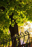 Ahornholz angesichts der Sonne Stockfoto