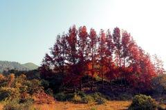 Ahornholz-Bäume stockbilder