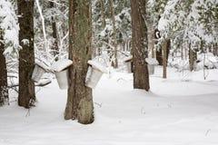 Ahornholz-Bäume mit Saft-Eimern Lizenzfreie Stockfotos