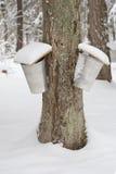 Ahornholz-Bäume mit zwei Saft-Eimern Stockbilder