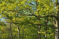 Ahornholz-Baum Lizenzfreies Stockfoto