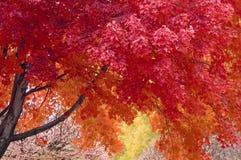 Ahornholz-Baum Lizenzfreie Stockbilder