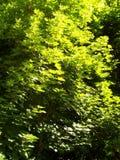 Ahornholz-Baum Stockfoto