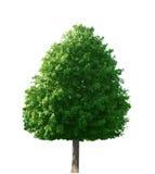 Ahornholz-Baum Stockfotos