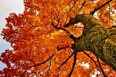 Ahornholz-Baum Stockbilder