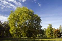 Ahornholz-Baum stockfotografie