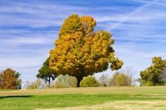 Ahornholz-Baum im Fall Stockbild