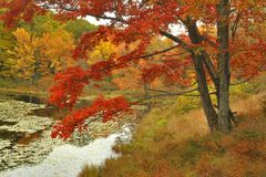 Ahornholz-Baum im Herbst Lizenzfreies Stockfoto