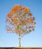 Ahornholz-Baum mit Fall-Laub Lizenzfreies Stockbild