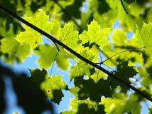 Ahornholz-Blätter Stockfotografie
