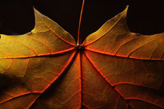 Ahornholz-Blatt stockfoto