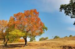 Ahornholz-Bäume Lizenzfreie Stockfotografie