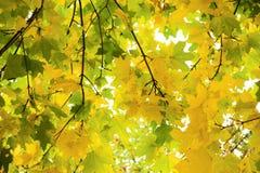 Ahornholz im Herbst Lizenzfreie Stockbilder