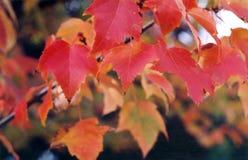 Ahornholz im Herbst Lizenzfreie Stockfotos
