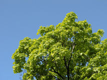 Ahornholz und Himmel Lizenzfreie Stockfotos