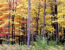 Ahornholzbäume Lizenzfreie Stockbilder