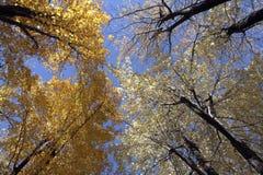 Ahornholzbäume im Herbst stockbilder