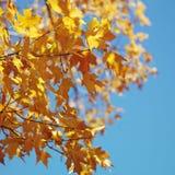 Ahornholzbaum in der Fallfarbe stockbild